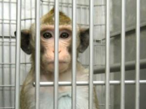 Primate manipulation