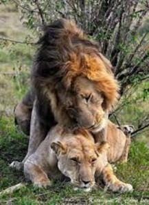 Lion reproducing