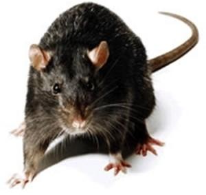 Rattus rattus (black mouse